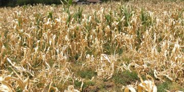 A maize crop failure. Rainfall deficits and failure in the Horn of Africa Region threaten economic and intercommunal instability due to limited resources. theexchange.africa