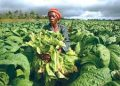 Tobacco growing in Tanzania may get a boost if plans by the government to increase sales are successful. theexchange.africa