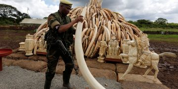 Ivory set for destruction www.theexchange.africa